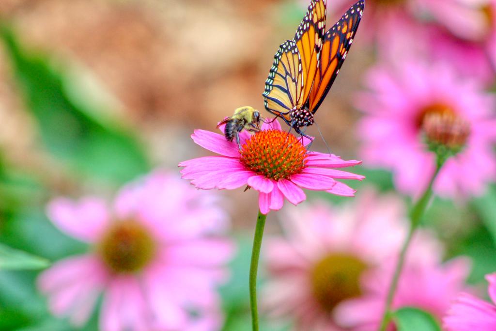 帝王蝶和蜜蜂在紫錐花紫錐菊